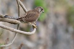 Kestrel (cliveyjones) Tags: kestrel falcon wildlife nature