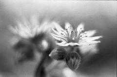 (von8itchfisk) Tags: expiredfilm film filmisnotdead 35mm analog analogphotography blackandwhite selfdeveloped ishootfilm fomapan flower macro vonbitchfisk nature