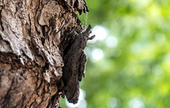 Tree Bark Flaking (Orbmiser) Tags: nikonafpdx70300mmf4563gedvr d500 nikon oregon portland tree trunk bark texture peeling