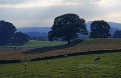 On the way to Glasgow, British landscape (blauepics) Tags: europe great britain british scotland schottland england landscape landschaft pastoral meadow wiese tree baum sheep schaaf nature natur rural ländlich clouds wolken 1995 uk