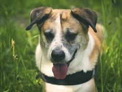 Dog Bokeh | 2. Juni 2019 | Schleswig-Holstein (torstenbehrens) Tags: dog bokeh | 2 juni 2019 schleswigholstein olympus penf m45mm f18