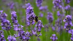 Supper for this little Bumblebee (moniquerebanks) Tags: bumblebee bee lavender lavendel plant garden garten tuin nikond7100 nature nectar flowers fleurs bloemen countryside countryliving uk cumbria dof hommel