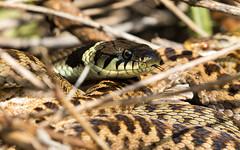 Grass Snake (kevinclarke1969) Tags: grass snake adder basking reptile