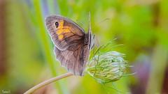 Butterfly - 7096 (✵ΨᗩSᗰIᘉᗴ HᗴᘉS✵66 000 000 THXS) Tags: sony sonydscrx10m4 papillon butterfly nature belgium europa aaa namuroise look photo friends be yasminehens interest eu fr party greatphotographers lanamuroise flickering flower flora fleur