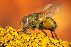 Green-yellow Blow Fly (zgrkrmblr) Tags: macro macrophotography bug focusstack sonya7 newport433 manfrotto410 manfrotto357 berlebachminitripod sunwayfoto arthropoda insect animal böcek makro photomacrography sonya7camerabody entomology entomoloji blowfly calliphoridae yellowlichen studiostack jansjöledlamp diptera
