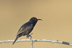 Sunbird (male) (Hatsofe B) Tags: sunbird wildlife manualfocus pentax150450mm rawtherapee natureandnothingelse