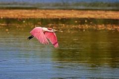The Flyover (Michiale Schneider) Tags: roseatespoonbill pink bird flight water nature dingdarlingwildliferefuge sanibelisland florida michialeschneiderphotography