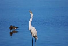 A Song for Your Soul (Michiale Schneider) Tags: greatwhiteegret bird water nature dingdarlingwildliferefuge sanibelisland florida michialeschneiderphotography