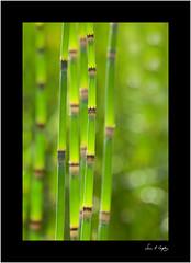 Luminosity (Simon Caplan) Tags: plants flowers garden gardenphotography bokeh shallowdepthoffield dof backlit universityofbristol botanicgarden bristol bristoluk bristolengland clifton green bright brightlycoloured luminous lines universityofbristolbotanicgarden bristolbotanicgarden horsetailfern