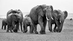 Elephant Family Part I (Leon Sammartino) Tags: kenya africa elephant family fine art mono chrome monochrome black white tusk grey skin herd grass masai mara safari travel fujifilm xt3 55200mm xmount