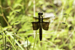 Summertime Dragon (Widow Skimmer) (-FlyTrapMan-) Tags: summertime dragon fly macro nature wildlife insect bug