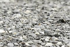 Rock or Grasshopper? (-FlyTrapMan-) Tags: rock grasshopper macro nature wildlife insect bug