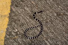 Many-banded Krait (amdubois01) Tags: manybandedkrait krait snake elapid hongkong bungarus bungarusmulticinctus multicinctus
