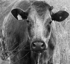 Lamesley Pastures - Cow Portrait (Gilli8888) Tags: nikon p900 coolpix lamesley lamesleypastures northeast gateshead countryside cows bovine blackandwhite