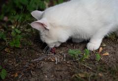 Back home: Cute meets evil (bohelsted) Tags: leicadg cat nocticron 425mm em5markii bird