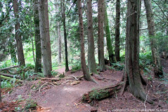 2019-07-17 Little Cranberry Lake Trail 10 (02) (1024x680) (-jon) Tags: anacortes skagitcounty skagit washingtonstate washington salishsea fidalgoisland sanjuanislands hike hiking walk walking woods forest pnw pacificnorthwest littlecranberrylake cranberrylake fern tree trail path anacortescommunityforestlands acfl trail10 a266122photographyproduction