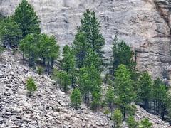 Green Clusters (Robert Cowlishaw (Mertonian)) Tags: pines rock mountains mountainside roadtrip2019 mertonian robertcowlishaw ineffable awe wonder canon powershot sx70hs canonpowershotsx70hs beauty beautiful trees survival