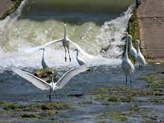Great & Snowy Egrets (Dodge Rock) Tags: 9784 snowyegret greategret whiterocklake