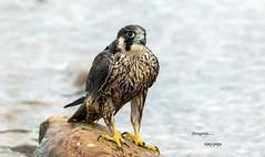 Peregrine (4gyp) Tags: peregrine falcon