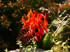 Crocosmia 'Lucifer' (rayyaro) Tags: crocosmia crocosmialucifer garden flower gardenflower