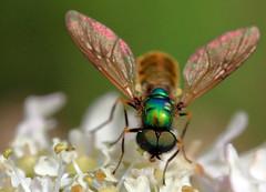 Chloromyia formosa (PJ Swan) Tags: chloromyia formosa soldier fly insect durham macro