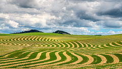 Palouse Zig Zag (robert_golub) Tags: field yellow clouds pattern farm washingtonstate zigzag palouse stripes patterns
