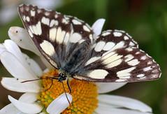 Marbled White (Melanargia galathea) (PJ Swan) Tags: marbled white melanargia galathea butterfly england wingate quarry county durham