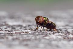 Physiphora alceae (Band-eyed Wingwaver) (pierre.pruvot2) Tags: arthropode insecte diptère mouche fly macro panasonic lumixg9 olympus60mmmacro france maraisdeguînes pasdecalais chemindestêtards soldierfly