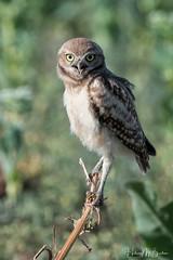_9HB8309 (Hilary Bralove) Tags: bird nature birds nikon wildlife owl owls birdsofprey burrowingowl burrowingowls coloradobirds coloradowildlife owlet