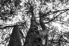 Coronation Pine (KWPashuk (Thanks for >3M views)) Tags: sony alpha a6000 1650mm lightroom luminar luminar2018 luminar3 luminar31 kwpashuk kevinpashuk tree pine white monochrome coronation park oakville ontario canada
