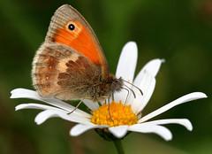 Small Heath (PJ Swan) Tags: coenonympha pamphilus butterfly small heath insect macro feeding flower county durham