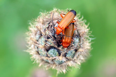 We found love in a hopeless place... (PJ Swan) Tags: common red soldier beetle england durham insects bugs