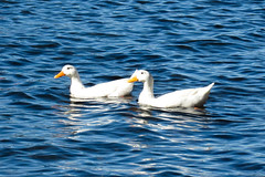 IMG_2979 (- Fijke Mogen -) Tags: duck drakes birds bird animal lake lagoon water nature naturephotography natureshot digital digitalphotography canon canonphotography canondigital powershot