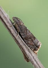 1247_Plum Fruit Moth Grapholita funebrana_Trench Wood_120719b (Oliver-C) Tags: plum fruit moth grapholita funebrana