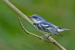 Cerulean Warbler (Alan Gutsell) Tags: ceruleanwarbler cerulean warbler songbird migration michigan wildlife setophagacerulea trees forest alan wildlifephoto nature canon camera photography migratorybirdtreaty waterloo reserve birds bird