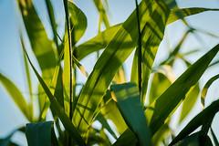 Grass backlight (sebalehm) Tags: dänemark feld gras gråsten manmade natur ort pflanze