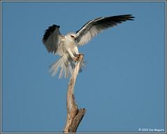 Kite on The Stick 9386 (maguire33@verizon.net) Tags: bif elanusleucurus pradoregionalpark whitetailedkite bird birdofprey kite raptor wildlife