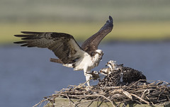 Osprey offering fish tail to her chicks (Mawrter) Tags: osprey ospreychicks wings nest chicks nature wild wildlife birds bird canon fish mealtime meal