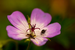 Oops (odell_rd) Tags: geranium fly tamronsp90 garden coth5 ngc