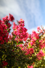 Red Blossom (thetechhimself1) Tags: eosm6 samyang21mmf14 samyang21mmf14edasumccs manualfocus f14 red blossom sky bloom