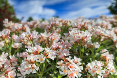 Bloom (thetechhimself1) Tags: eosm6 samyang21mmf14 samyang21mmf14edasumccs manualfocus f56 blossom bloom sky flowers