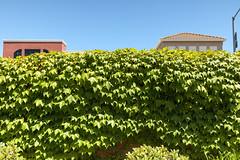 Leaves (thetechhimself1) Tags: eosm6 samyang21mmf14 samyang21mmf14edasumccs manualfocus f28 green leaves wall sky