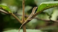 Lazy Lizard, Anolis fuscoauratus (Ecuador Megadiverso) Tags: anolisfuscoauratus lizard ecuador andreaskay