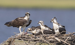 Osprey chick moves in on dinner (Mawrter) Tags: osprey ospreywithfish ospreychicks dinner meal mealtime nest fish forsythenwr canon nature wild wildlife bird birds avian