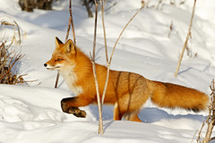 On The Run Heading For Her Den (AlaskaFreezeFrame) Tags: fox redfox vixen cute nature wildlife outdoors canon telephoto alaska alaskafreezeframe animals mammals carnivore predator zorro sly snow frost winter beautiful gorgeous posing closeup portrait anchorage 70200mm