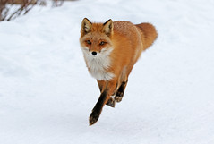 Running Right At Me (AlaskaFreezeFrame) Tags: fox redfox vixen cute nature wildlife outdoors canon telephoto alaska alaskafreezeframe animals mammals carnivore predator zorro sly snow frost winter beautiful gorgeous posing closeup portrait anchorage 70200mm