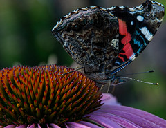 The Red Admiral Butterfly2 (jeffb477) Tags: toronto butterfly insect bug nature nikon d7100 redadmiral outdoor outside ontario canada canadian
