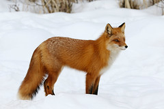 Profile Shot Of This Beautiful Female Red Fox (AlaskaFreezeFrame) Tags: fox redfox vixen cute nature wildlife outdoors canon telephoto alaska alaskafreezeframe animals mammals carnivore predator zorro sly snow frost winter beautiful gorgeous posing closeup portrait anchorage 70200mm