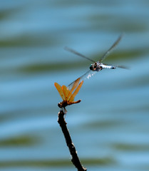 Dragonfly Dance (Greg Adams Photography) Tags: dragonfly lake poconos insect wings branch pennsylvania nature ripples hhsc2000 2019 summer two flight flying