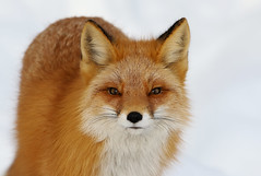 Closeup Portrait Of A Red Fox (AlaskaFreezeFrame) Tags: fox redfox vixen cute nature wildlife outdoors canon telephoto alaska alaskafreezeframe animals mammals carnivore predator zorro sly snow frost winter beautiful gorgeous posing closeup portrait anchorage 70200mm